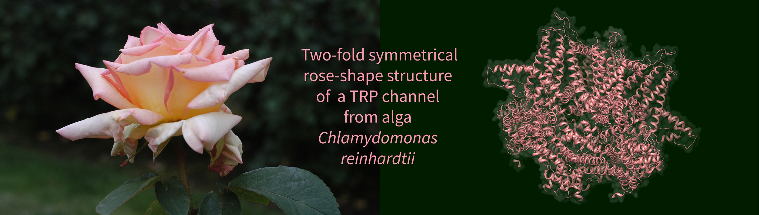 Alga Chlamydomonas Reinhardtii